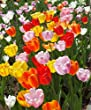 The Giant Darwin Hybrid Tulip Mixture - 50 Bulbs