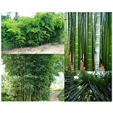 GIANT BAMBOO seeds - ca.60 Seeds/bag - Grows 8 to 10 meters in record speed - well suited as visibility or wind protection in the garden