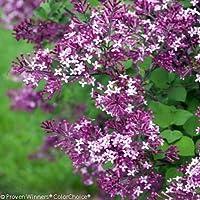 Bloomerang Dark Purple® Lilac - Syringa - Proven Winners - 4