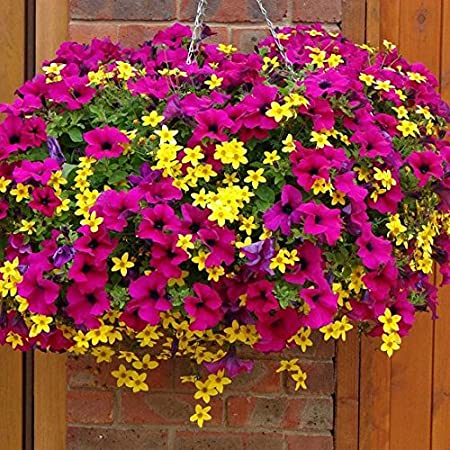 Beautiful Garden & Outdoor!! Seeds,Pots,Tools & More By Amazon | Balsam Camellia Mixed Flower Seeds Impatiens balsamina 50 Seeds Pack by Seedscare India @ Rs.99