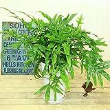 観葉植物 シダ:ミクロソリウム スコロペンドリウム*陶器鉢POT 受け皿付き