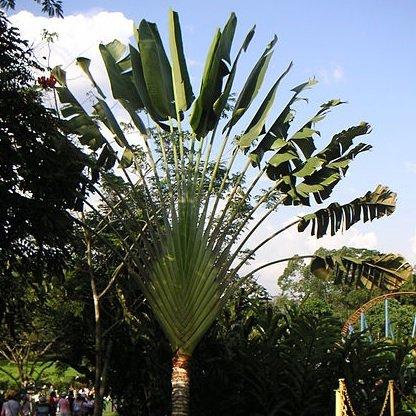 ravenala-madagascariensis-travellers-palm-palmier-10-graines