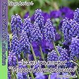 ◆【寄せ植えでかわいい!】ムスカリ・アルメニアカム・10球【秋植え球根】【オランダからの花便り】