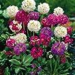 Kugelprimel Primula denticulata - 9 pflanzen