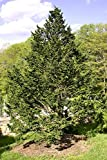 """Eastern Hemlock - Canadian - Tsuga canadensis - Healthy Established Roots - 2 1/2"""" Potted - 3 Plants by Growers Soltuion"""