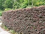【6か月枯れ保証】【生垣樹木】トキワマンサク赤葉ピンク花 1.0m 10本セット