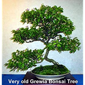 Lavender Star Flower Bonsai Starter Tree -Grewia-Indoor