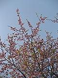 河津桜 樹高2.0m前後 落葉樹 カワヅ