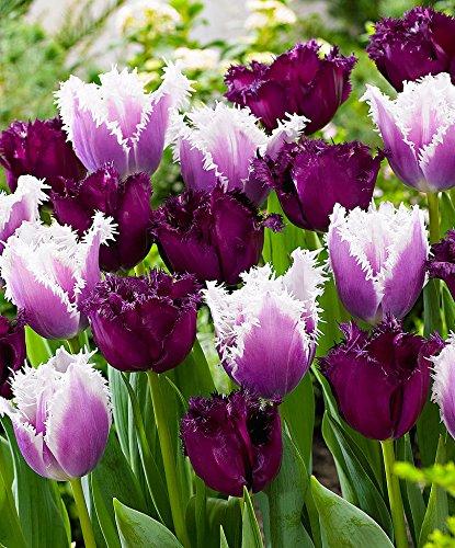 bakker-tulipani-sfrangiati-vincent-van-gogh-cummins-1-confezione-da-10