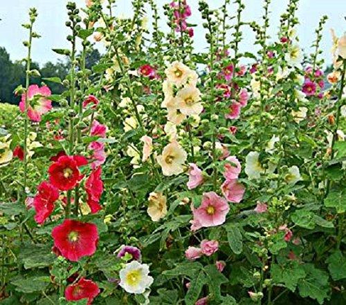 20-graines-semence-rose-tremiere-coloris-melange-rouge-blanc-rose-potager-semences-fleurs-graines-ce