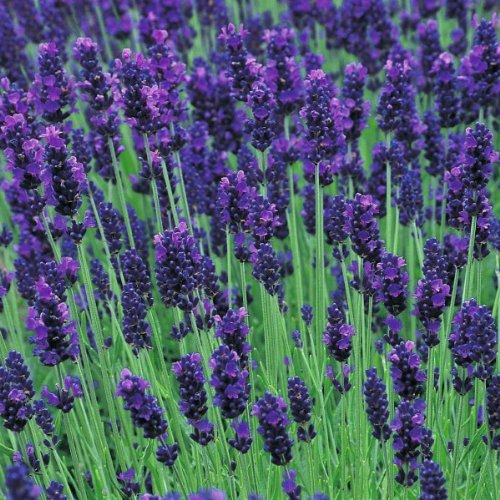 1 X Lavandula Angustifolia Hidcote In A 9cm Pot - Herb - Hardy Perennial Plant - Flowering Plants Shrubs