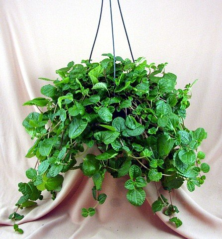 Buy Creeping Charlie Hanging Basket – Pilea – Easy to Grow