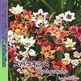 【色鮮やか】 スパラキシス10球 【オランダからの花便り】【秋植え球根】