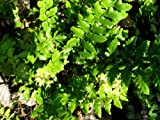 Staudenkulturen Wauschkuhn Polystichum aculeatum - Schildfarn - Farn im 11cm