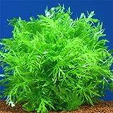 国産ウォーターウィステリア 水中葉 6本 鉛巻き 無農薬 水草