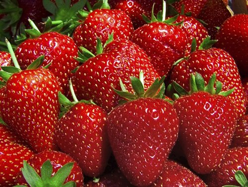 Hirts Evie Everbearing Strawberry Plants, 50 Plants Bareroot