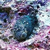 (海水魚 貝 無脊椎)アワビグリーン Sサイズ(1匹) 本州・四国限定[生体]