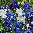 Bearded German Iris Blue Mix 10 Rhizomes
