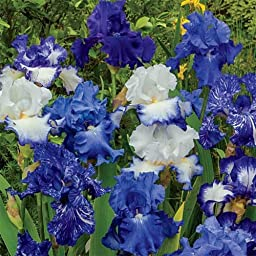 Bearded German Iris Blue Mix 10 Rhizomes