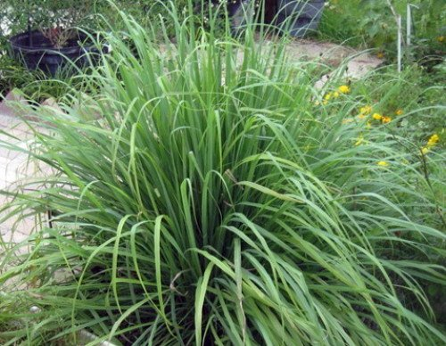 Lemon Grass 50 Seeds - Cymbopogon - Herb - Grasses - Patio ...
