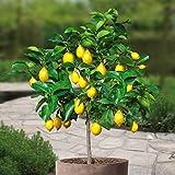 Citronnier Standard /Citronnier sur tige - 1 arbre