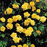 Kletterrose Golden Shower - 1 rose