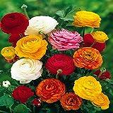 Ranunculus asiaticus Mix - 60 flower bulbs