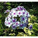 Phlox Twinkle Dwarf Mix Flower Seeds By Kraft Seeds [PACK OF 20]