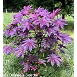 Castor Bean -Deep Purple- New Zealand Purple, Tropical Look, Fast Growing - Ricinus Communis, (16+ Seeds)