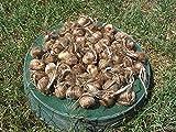 100 cormi (bulbi) del CROCO DA ZAFFERANO (Crocus sativus) circonferenza 10/+ cm