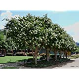 6 Pack - Natchez (White) Crape Myrtle Trees (Color: white)