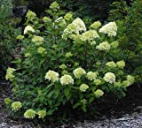 Limelight Hydrangea - Beautiful Colors - Proven Winners - Gallon Pot