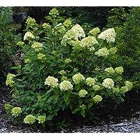 'Limelight' Hydrangea - Beautiful Colors - Hardy Shrub - Proven Winners