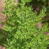 300 Sweet Annie Seeds Artemisia Annua / Sagewort Wormwood