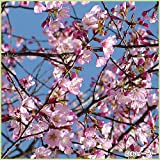桜(サクラ)苗木 紅山桜(大山桜・蝦夷山桜)