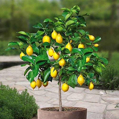 lemon-tree-standard-1-tree