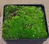 Living Moss - Great For Bonsai, Terrariums