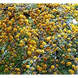 Acacia Farnesiana 10 seeds Mimosa Sweet Acacia Bright Yellow flower clusters Drought Tolerant aromatic dense foliage Perfect Bonsia Plant