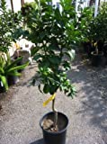 Standard Italian Lemon Tree, Five Gallon Container