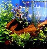 Kleines Wasserpflanzen Set f 20-40 l Aquarium
