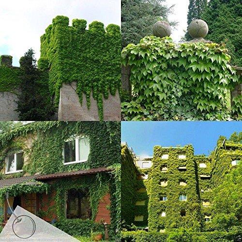 100-boston-ivy-seedsparthenocissus-tricuspidata-fast-growing-vine-climber-