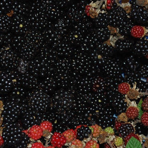 blackberry-bramble-seeds