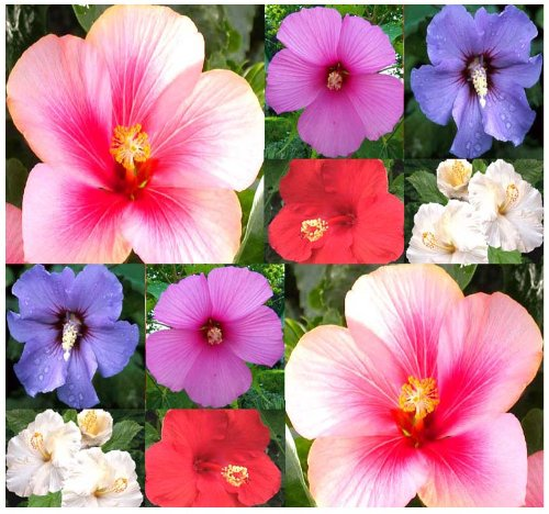 4 Packs X 10 Rose Of Sharon Seeds - Gorgeious Perennial Shrub - Rose Althea - H. Syriacus - Vibrant Mix Hibiscus - Zones 5 - 9 - By Myseeds.Co