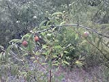 1 Americam Plum Tree up to 2 Foot Tall
