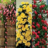 Four Color Rose Seeds Combo Pack,Beautiful Climbing Rose(Yellow+Pink)+Rare Rose(Red-Black+Velvet) Total 60 Seeds, Sols By Vsquare Retail