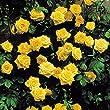 Rose Grimpante Golden Shower - 1 rose