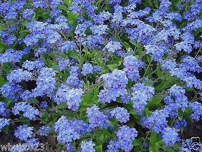 Cynoglossum Amabile Germination Seeds(cynoglossum Amabile