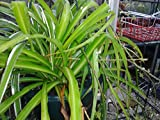 CHLOROPHYTUM ALL GREEN 'SPIDER PLANT' IN 7CM POT SHADE LOVER