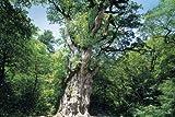 Tatsujin 1000pcs Yakushima Island of puzzle Mezase -! Jomon cedar [Nippon] 11-326 (japan import)