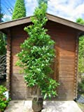 ヤマモモ 樹高2.0m前後 庭木・シンボルツリーに最適です!